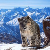 snow leopard in planet earth II