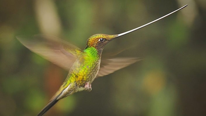 sword billed hummingbird in planet earth II