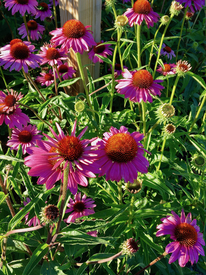Pollinator garden at Sustainable NantucketWalter F. Ballinger Educational Community Farm