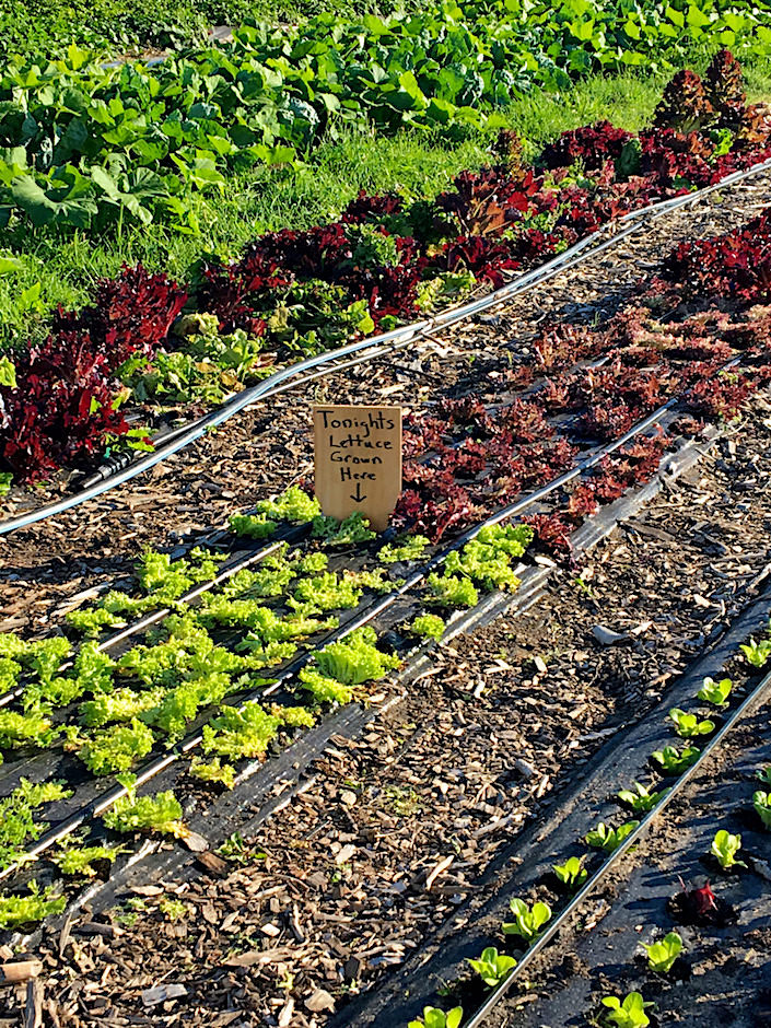 Sustainable Nantucket lettuce