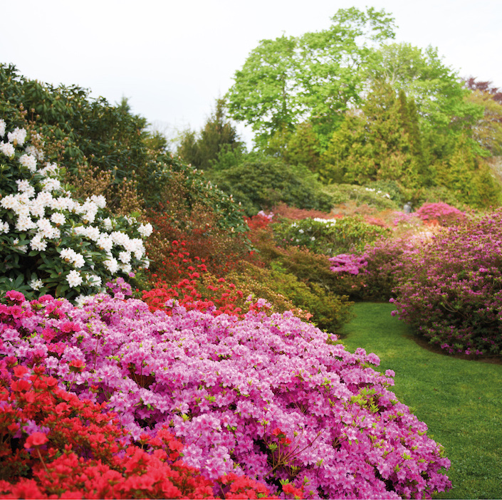 azalea crescent in the garden of peter marino