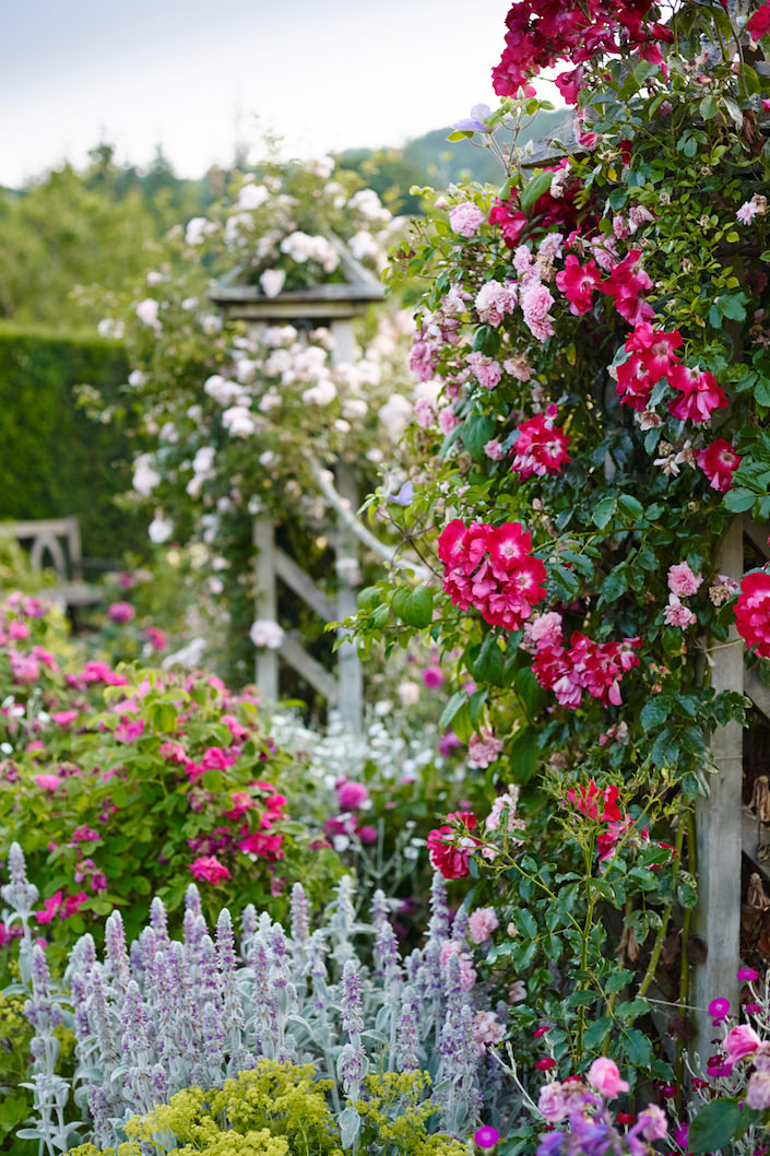 The-Shrub-Rose-Garden-in-summer-at-RHS-Garden-Rosemoor_-credit-RHS-and-Jason-Ingram