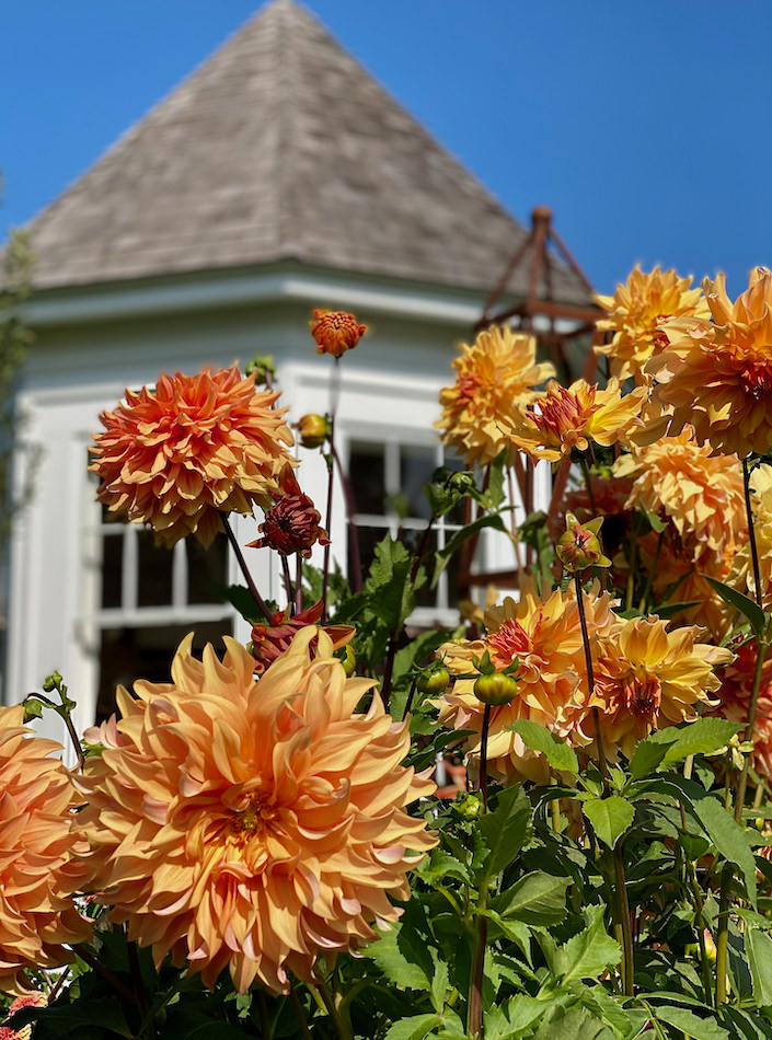 Dahlias at Clove Brook farm