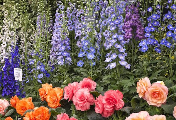 Jenny Rose-Innes photo of the Chelsea flower show