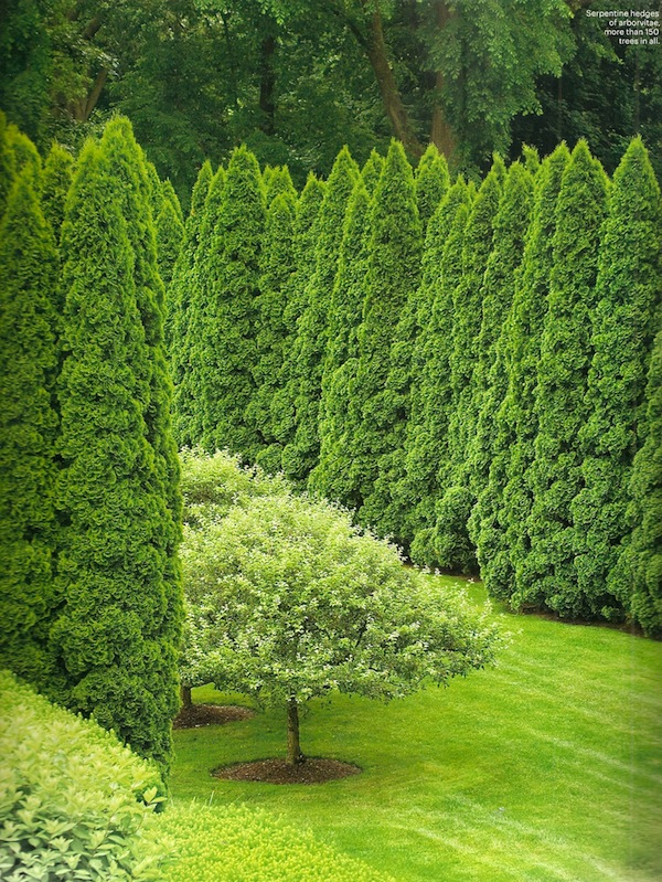 Serpentine hedges of arborvitae in a Connecticut garden